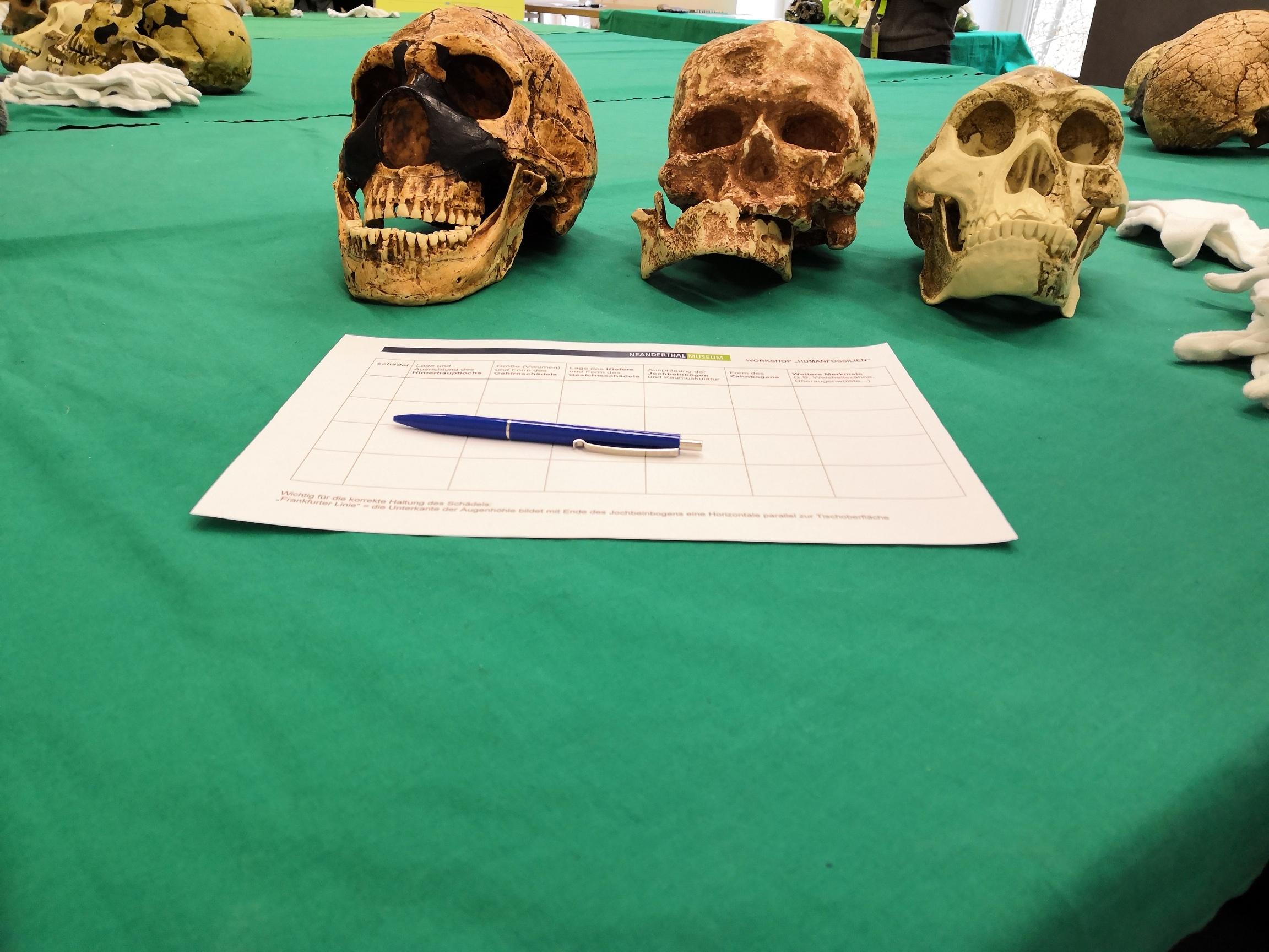 Schädel und Infozettel auf dem Tisch für Humanfossilien Workshop